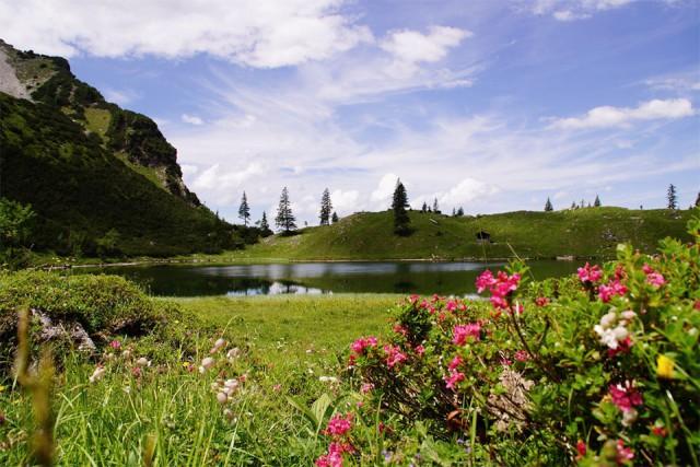Alpenrosen im Allgäu