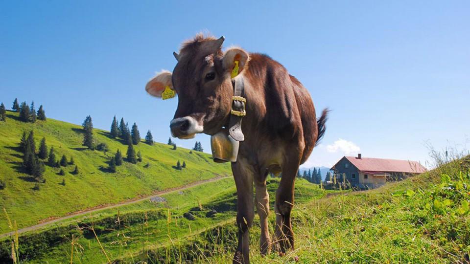 Kuh am Hochgrat