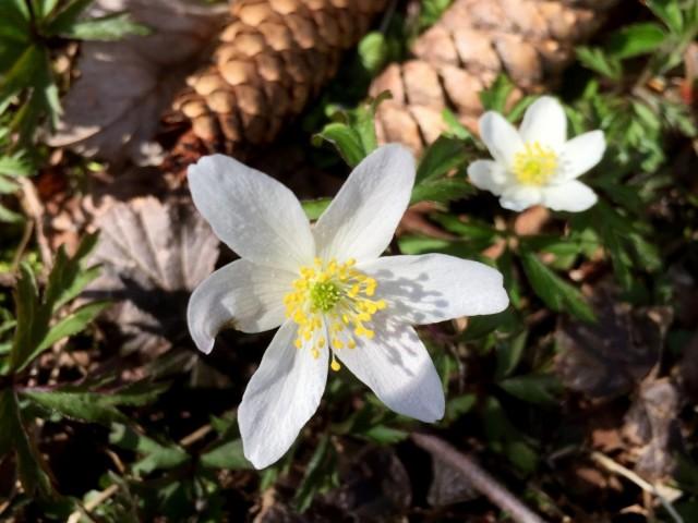 Foto vom 18.03.20: Buschwindröschen