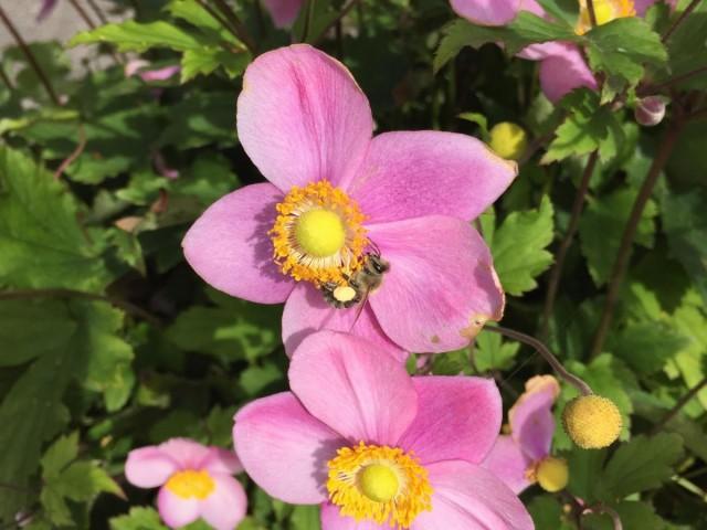 Diese Biene hat heute schon fleißig gesammelt