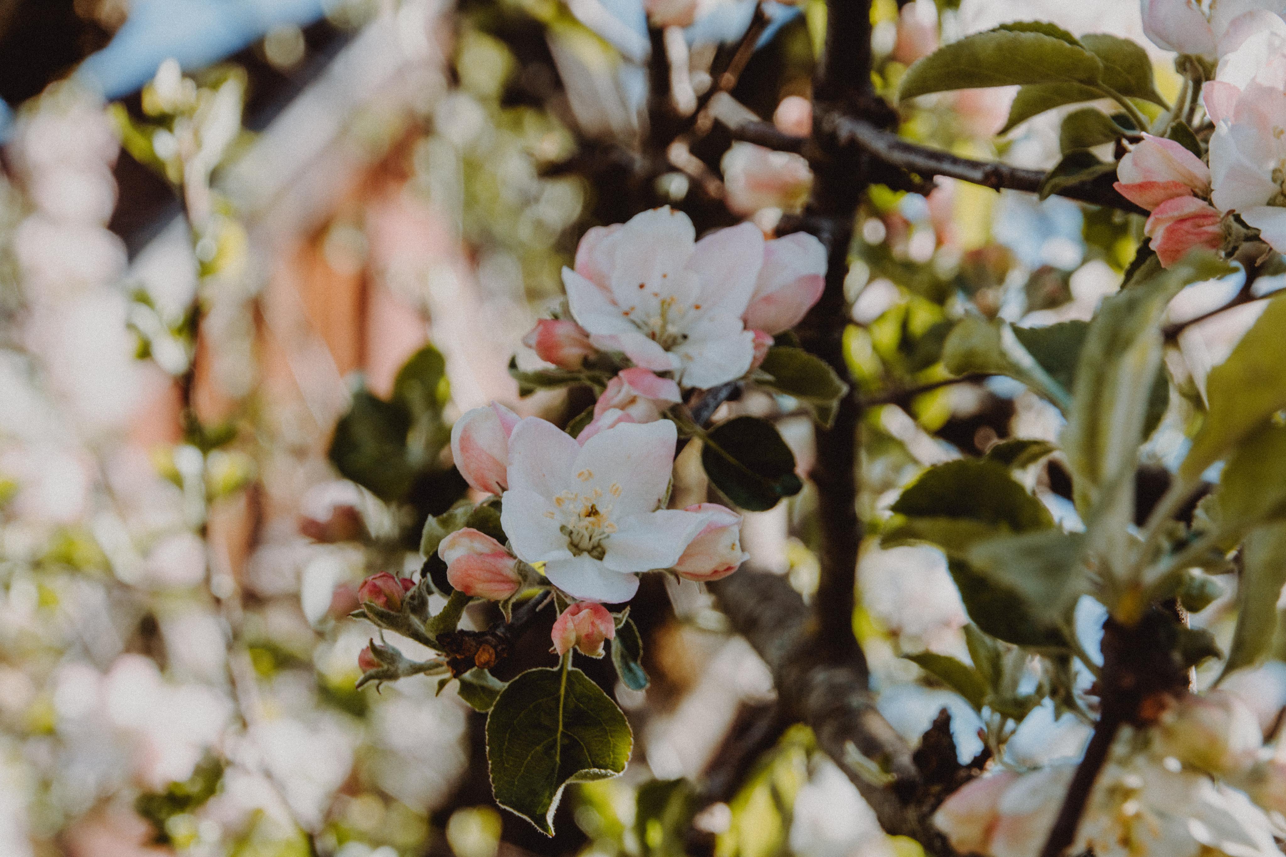 Apfelblüten auf Hochzeit