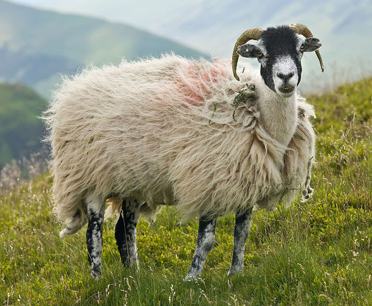 Quelle: User:Diliff, CC BY-SA 3.0 <https://creativecommons.org/licenses/by-sa/3.0>, via Wikimedia Commons - https://commons.wikimedia.org/wiki/File:Swaledale_Sheep,_Lake_District,_England_-_June_2009.jpg