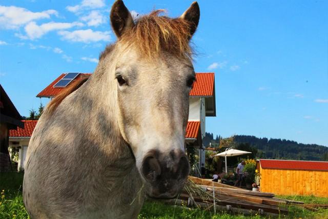 Weißes Pferd vor dem Ferienhof