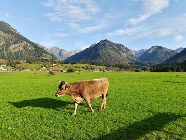 Kuh in Fischen-Langenwang