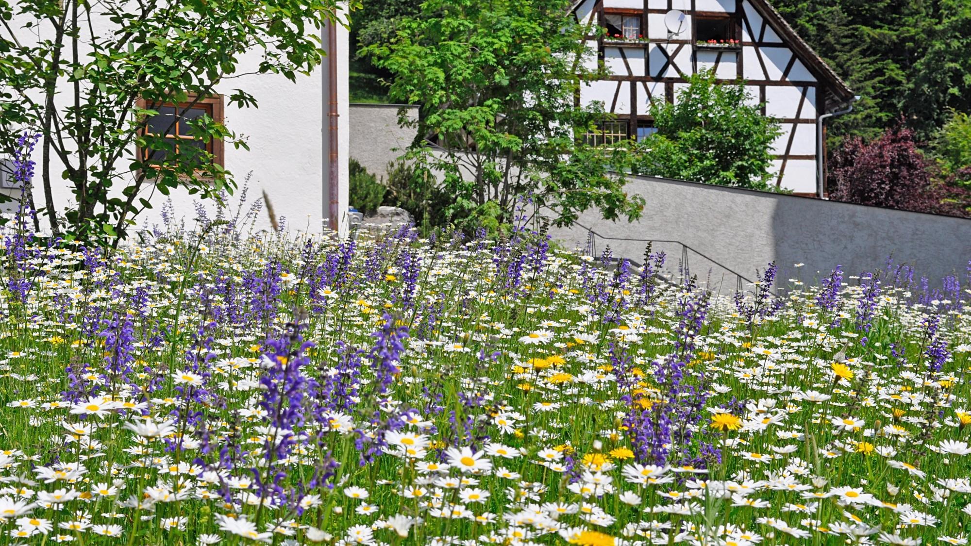 Margeritenblüte im Propsteihof