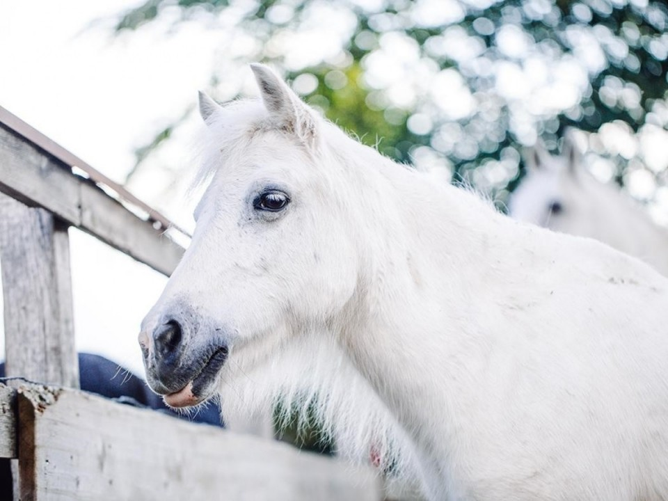 Maximiliane, Pony, Stute