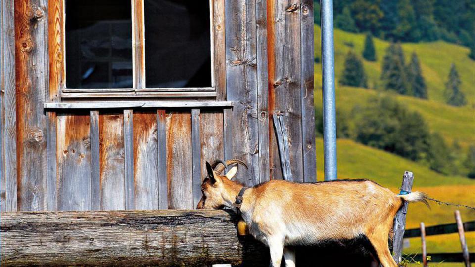 Alpe Buchen mit Ziege