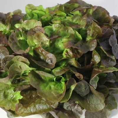Gemüse - Salat Eichblatt